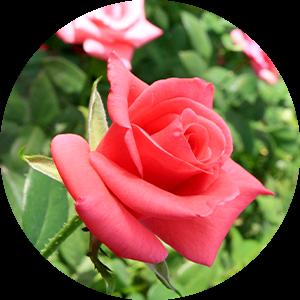 朝摘みの新鮮なバラ